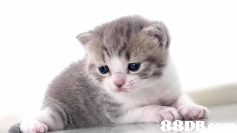 88D  cat,mammal,small to medium sized cats,cat like mammal,vertebrate