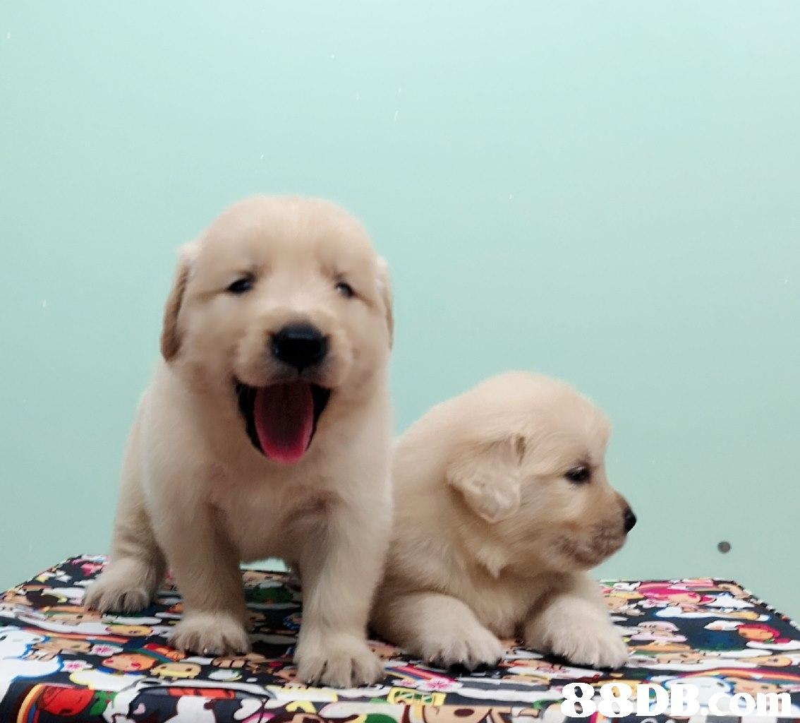 dog,dog like mammal,retriever,dog breed,mammal