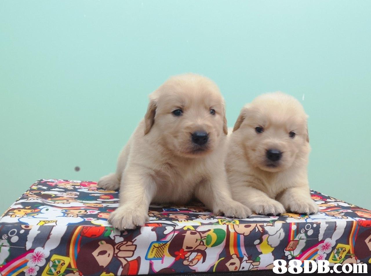 dog,dog like mammal,retriever,golden retriever,dog breed