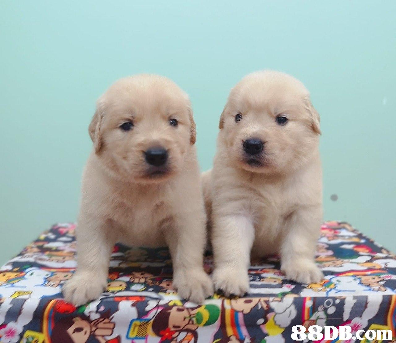 88DB.Com  dog,dog like mammal,retriever,golden retriever,dog breed