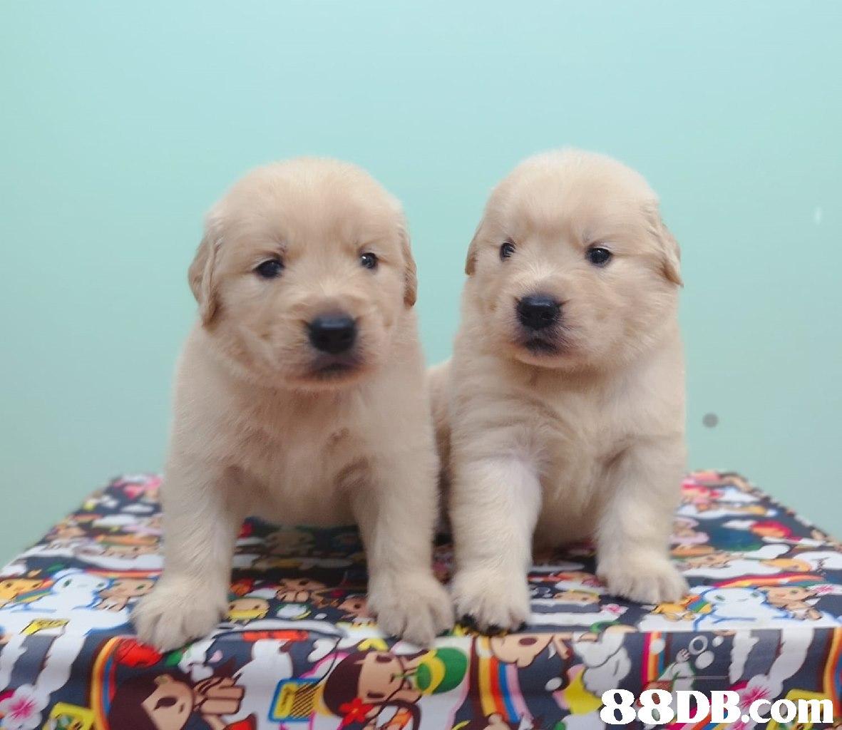 dog,dog like mammal,retriever,dog breed,golden retriever