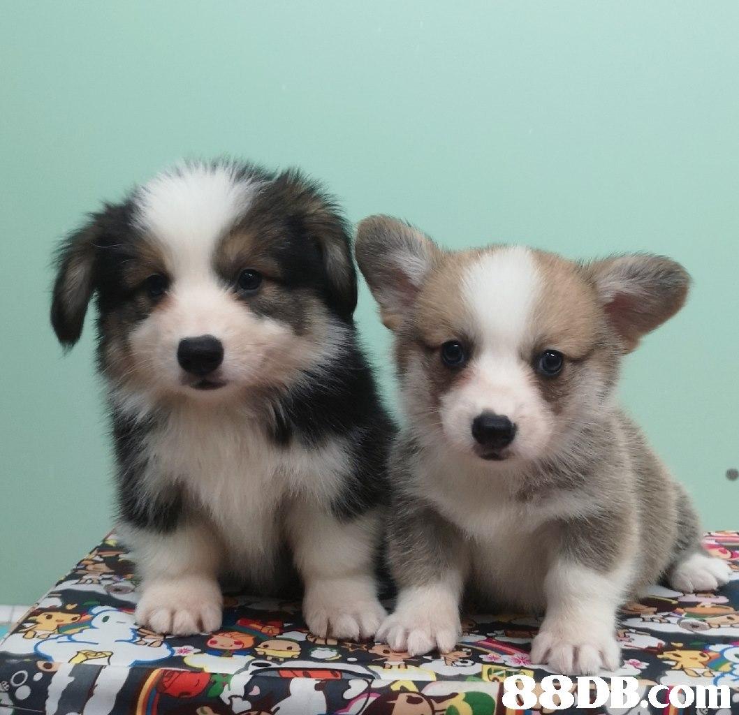 dog,dog like mammal,dog breed,dog breed group,vertebrate