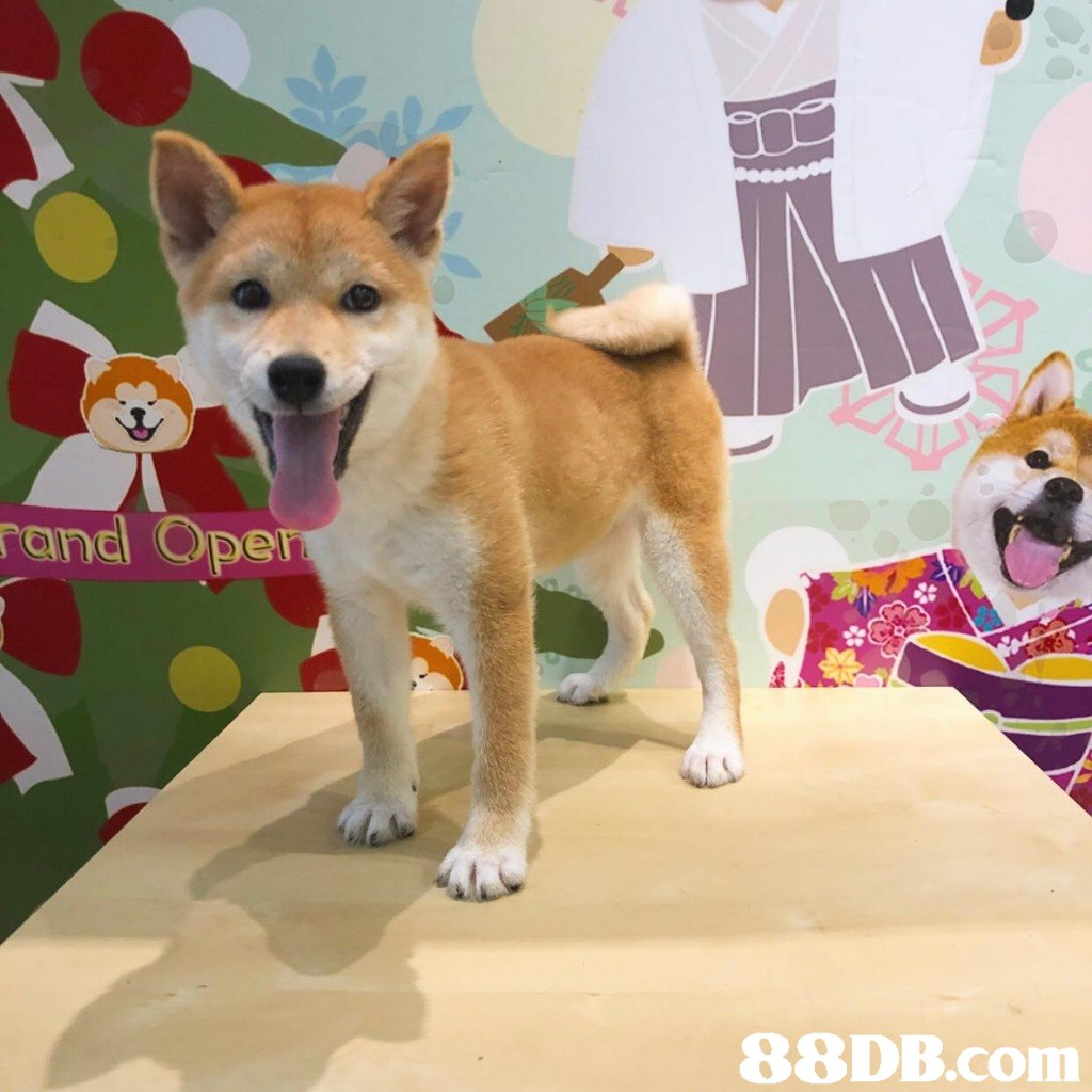 rand。   dog,dog like mammal,dog breed,dog breed group,shiba inu