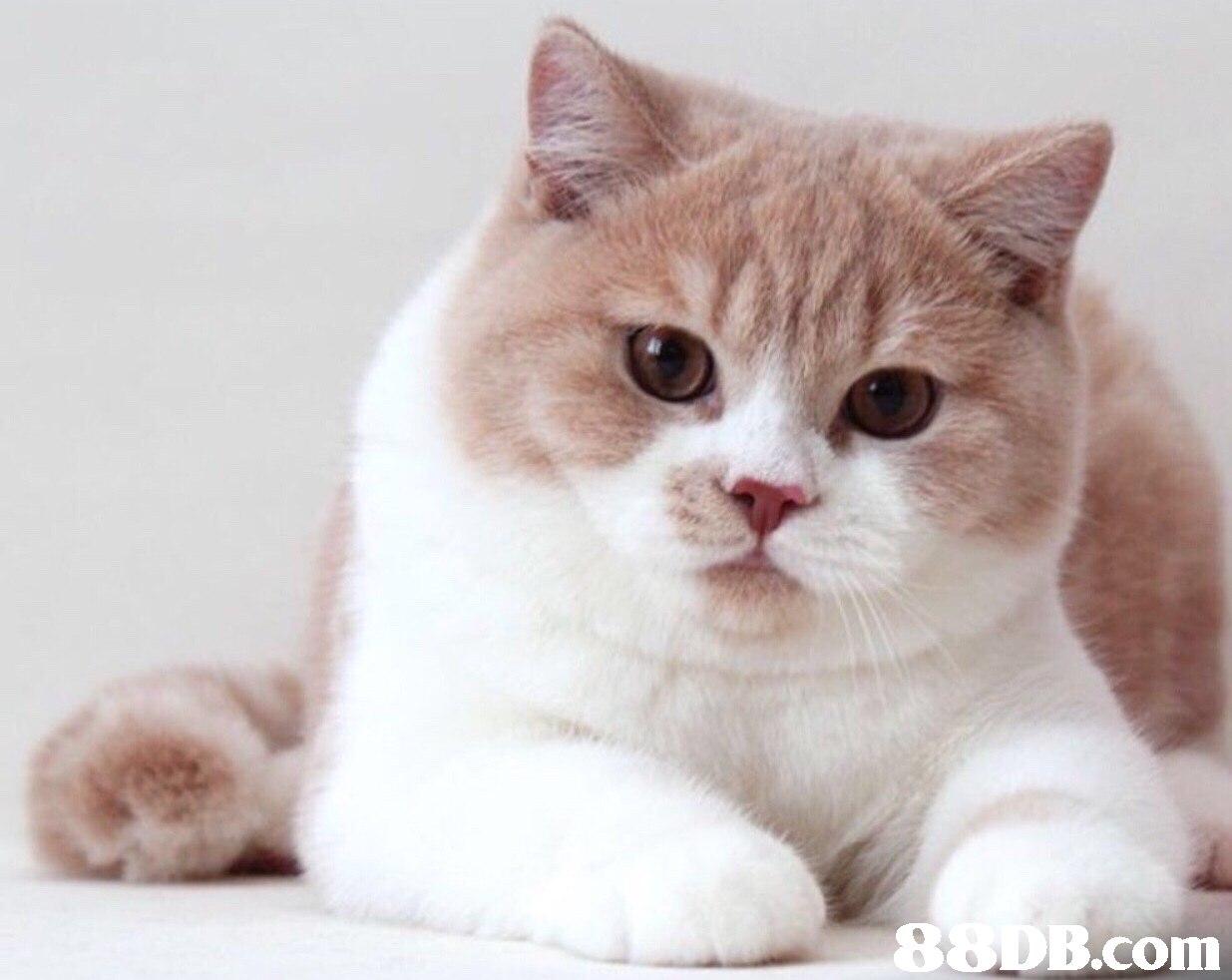 DB.com,cat,small to medium sized cats,mammal,cat like mammal,whiskers