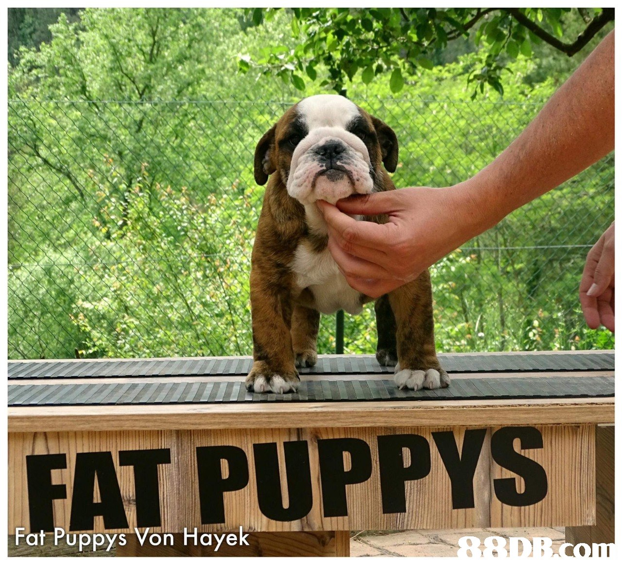 FAT PUPPY Fat Puppys Von Hayek  dog,dog like mammal,dog breed,mammal,vertebrate