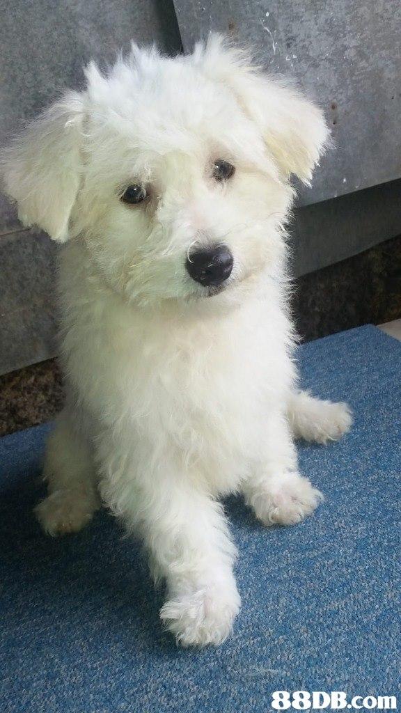 dog,dog like mammal,dog breed,maltese,dog breed group