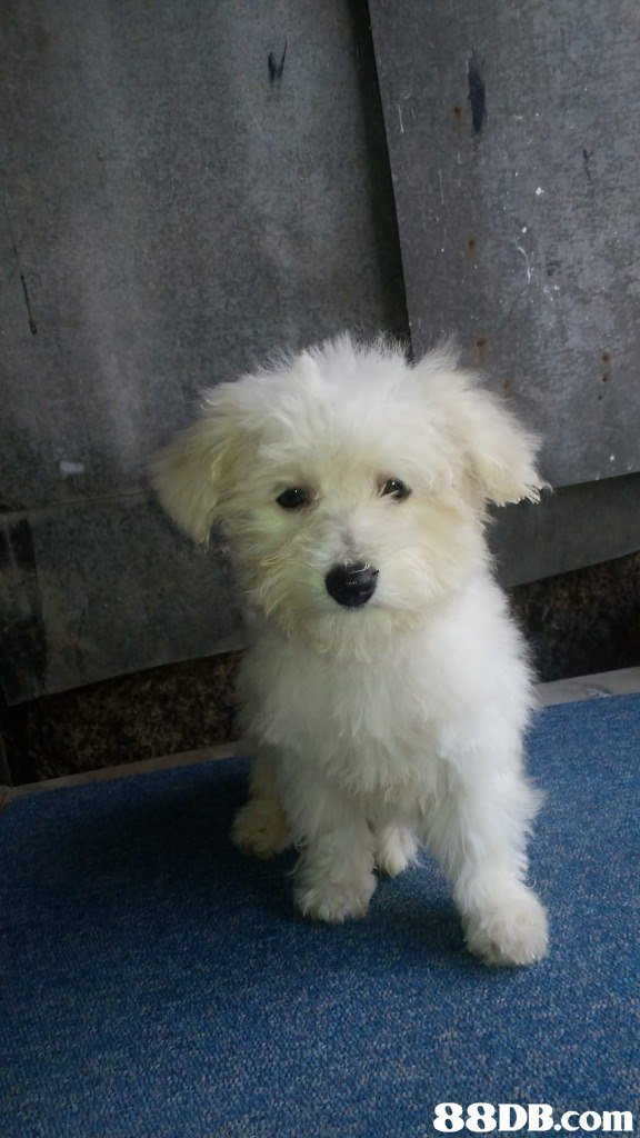 dog like mammal,dog,dog breed,maltese,dog breed group