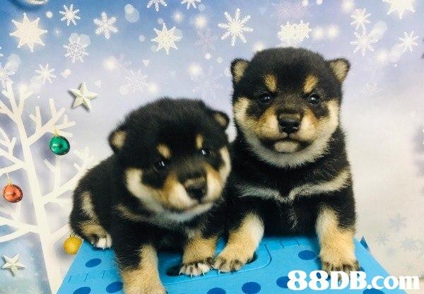 本犬舍專業繁殖 日本柴犬、芝娃娃、法國老虎及英國老虎,種犬均是來自世界各地頂尖犬舍黄金血統之組合  作為本犬舍繁殖的基礎。  所有幼犬亦可附上國際認可出世紙