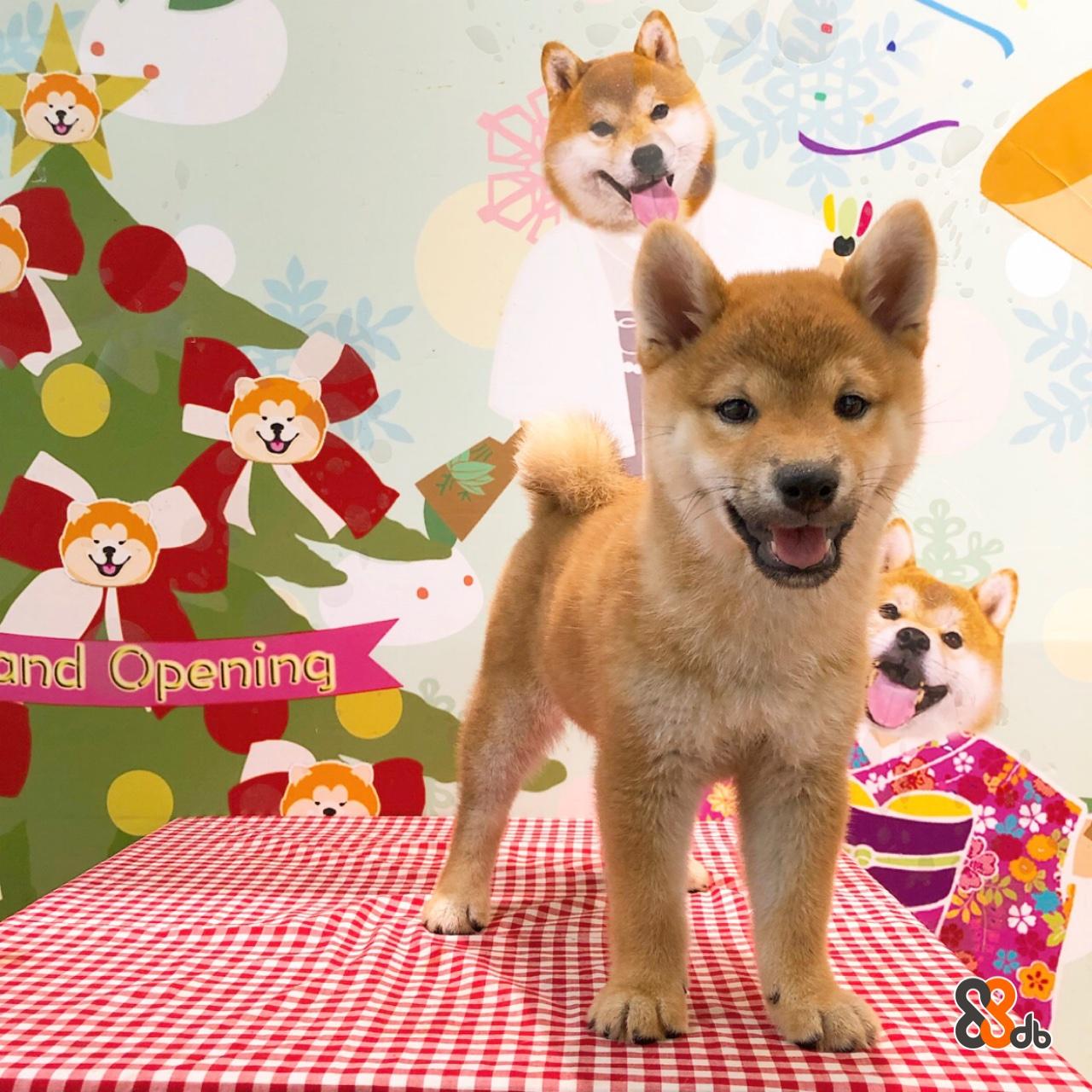 and Opening  dog,dog like mammal,dog breed,mammal,dog breed group