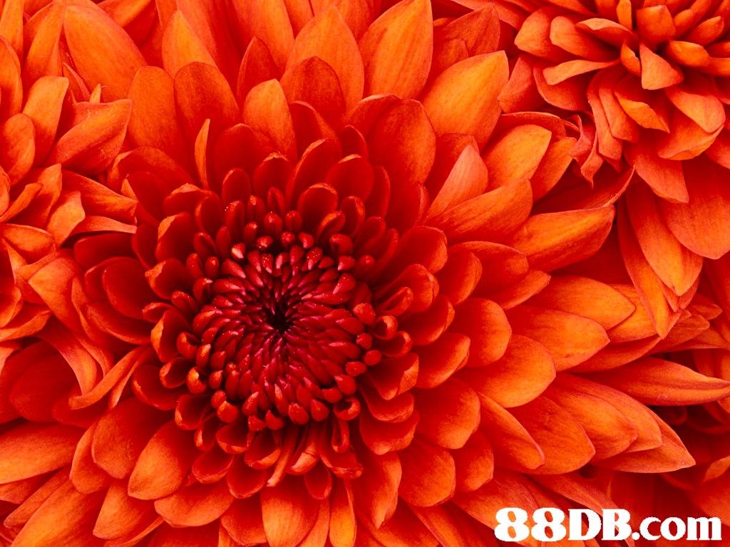 flower,orange,chrysanths,petal,gerbera
