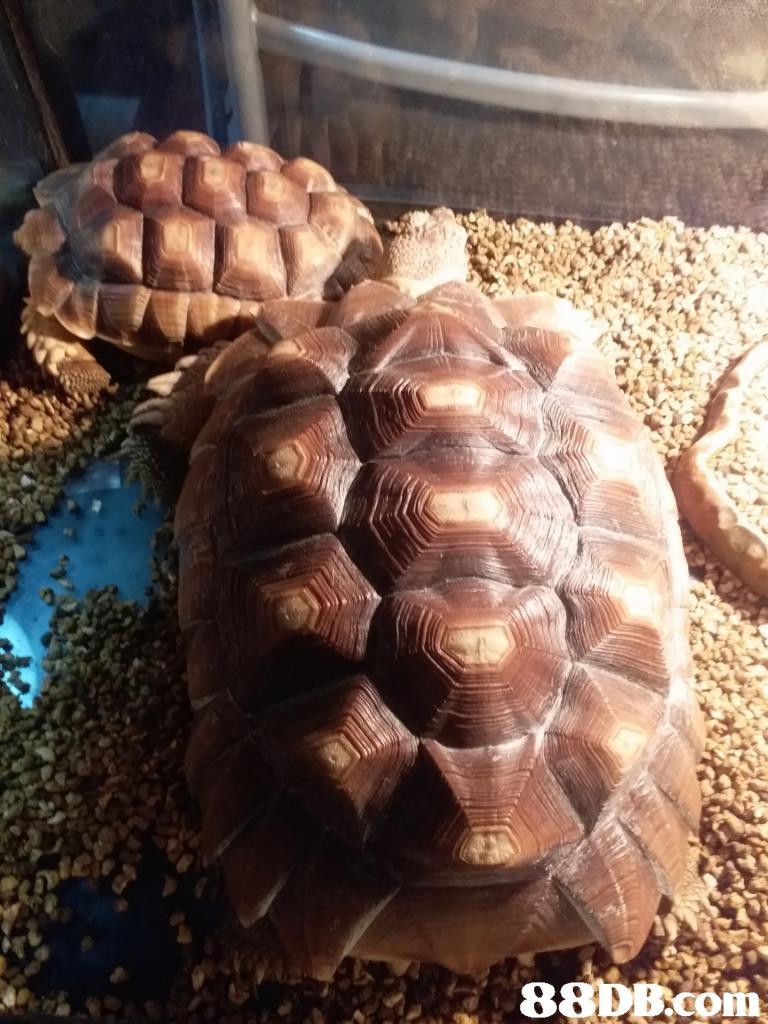 DB.com  tortoise,turtle,reptile