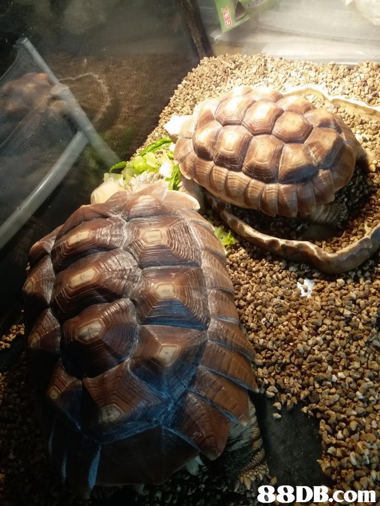 tortoise,turtle,emydidae,reptile,box turtle