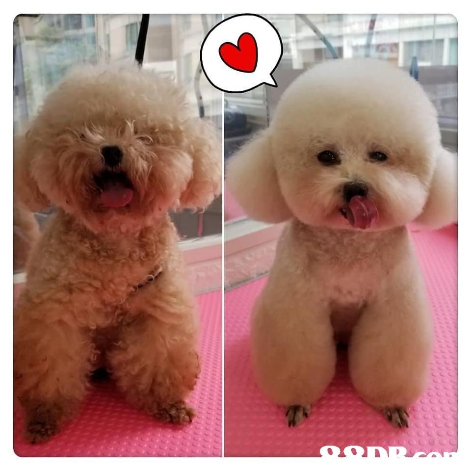 dog like mammal,dog,dog breed,dog breed group,bichon
