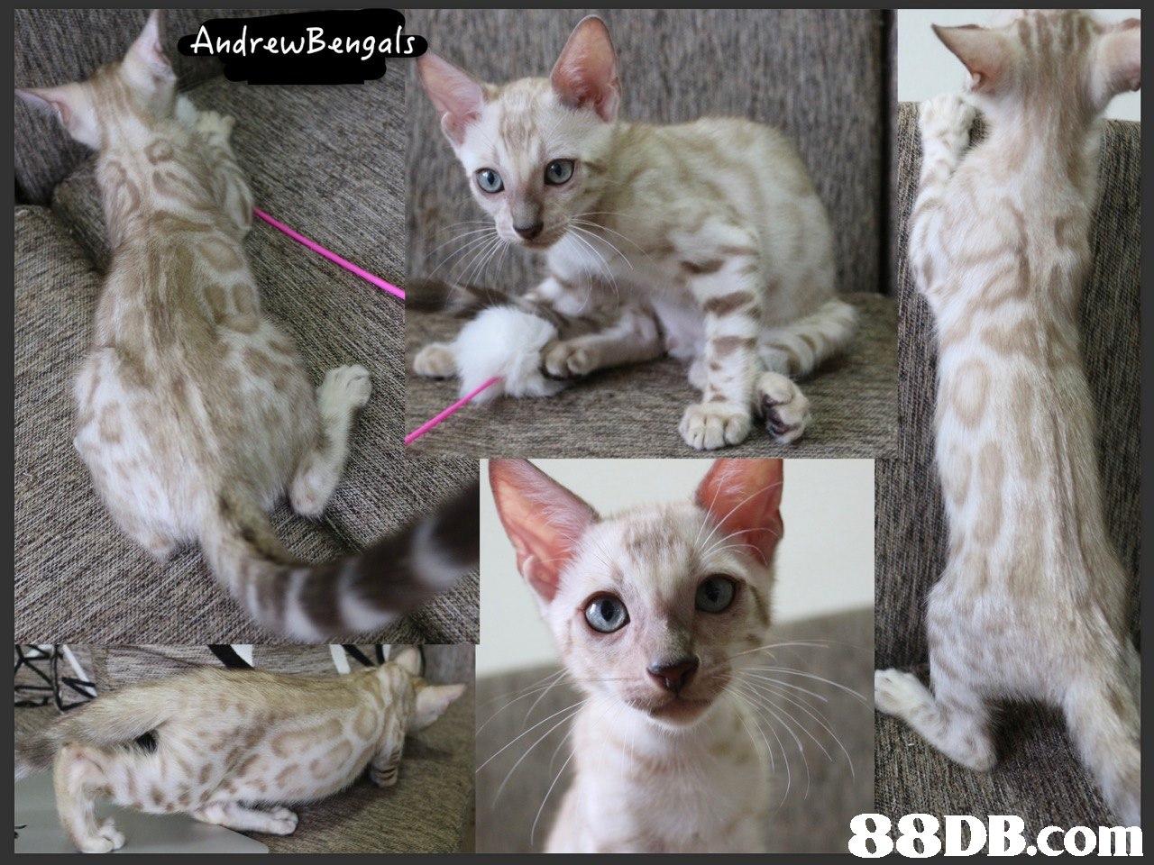 AndrewBengals   Cat,Mammal,Vertebrate,Small to medium-sized cats,Felidae