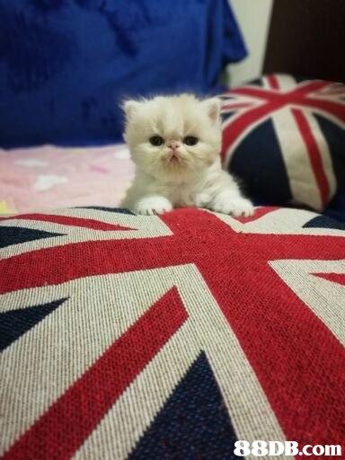 Cat,Mammal,Felidae,Persian,Small to medium-sized cats