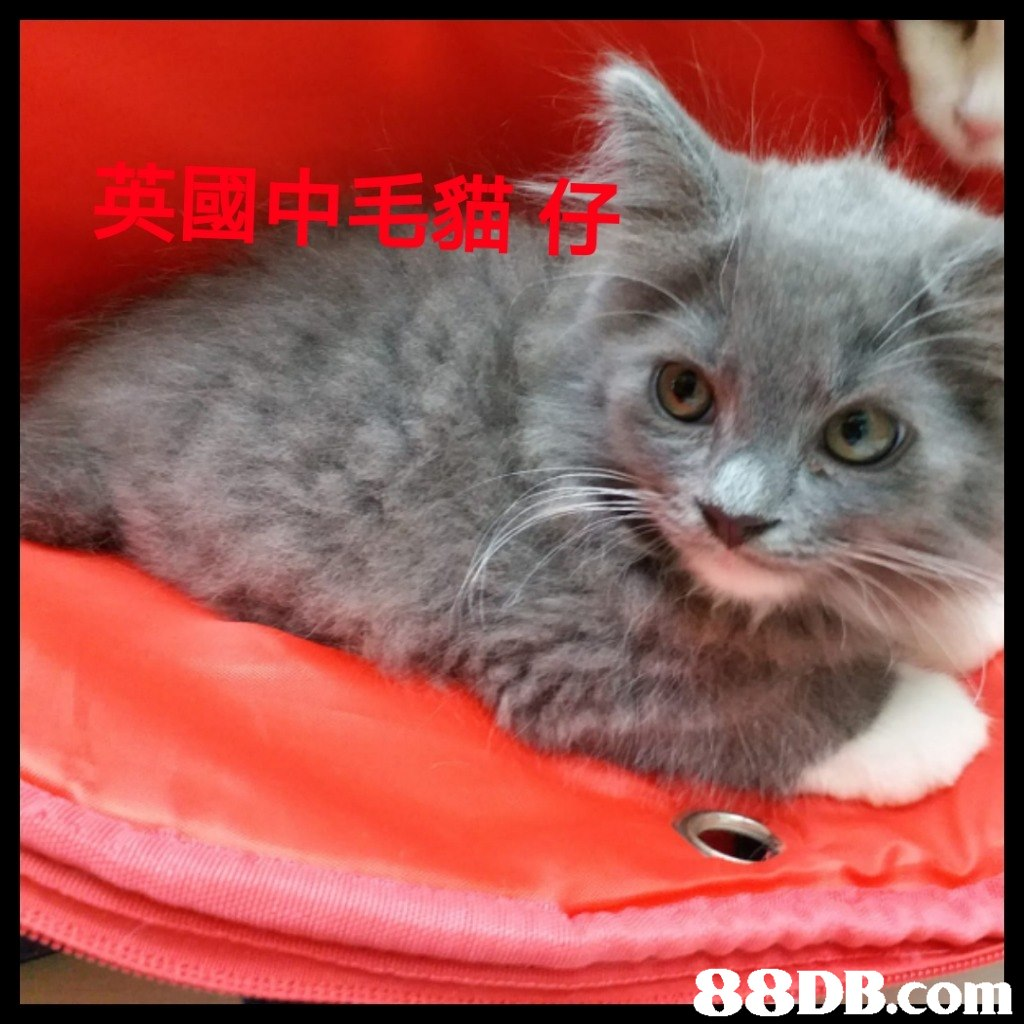 申毛貓仔   Cat,Small to medium-sized cats,Mammal,Felidae,Whiskers