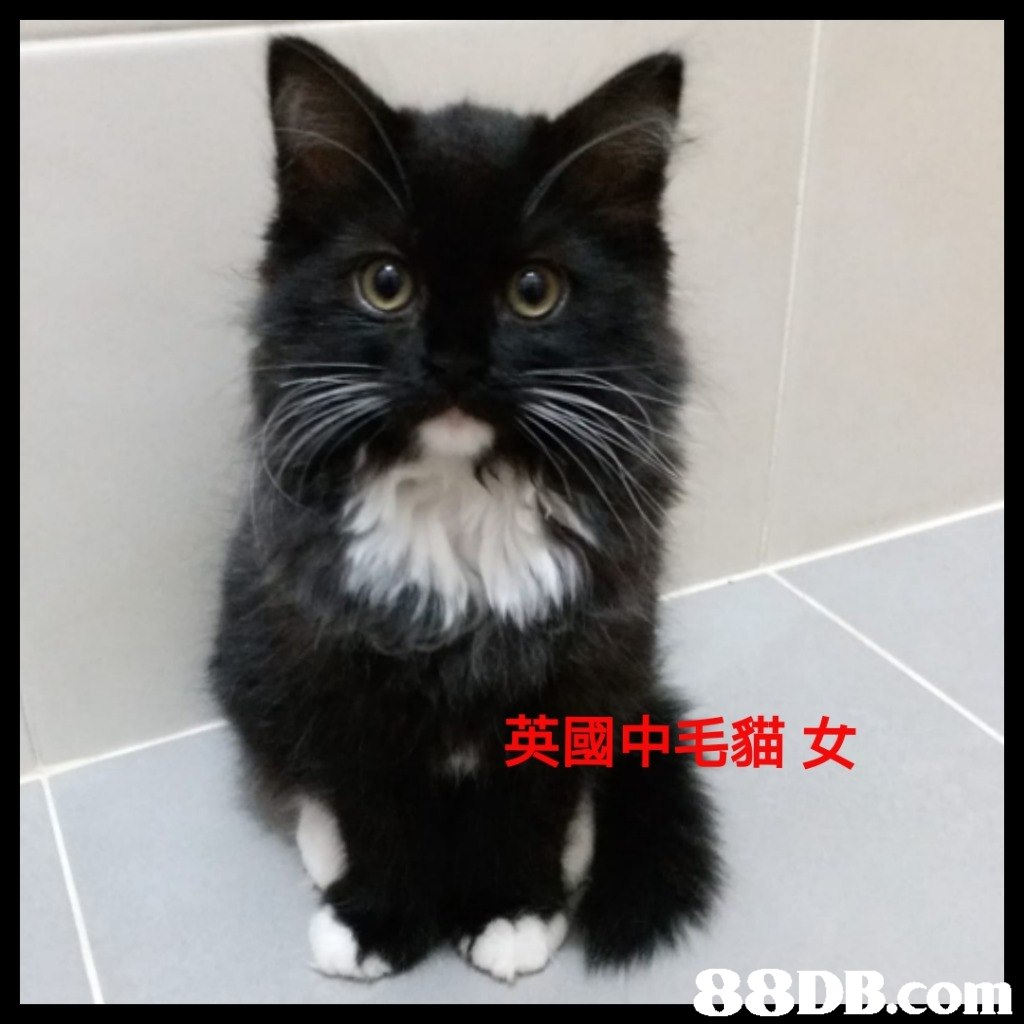 英國中毛貓女  Cat,Mammal,Small to medium-sized cats,Whiskers,Felidae