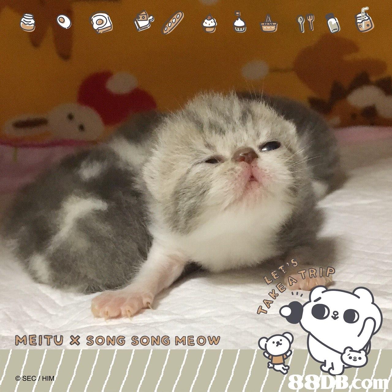 O lo MEITU SONG SONG MEOWw © SEC / HIM  Cat,Mammal,Vertebrate,Small to medium-sized cats,Felidae