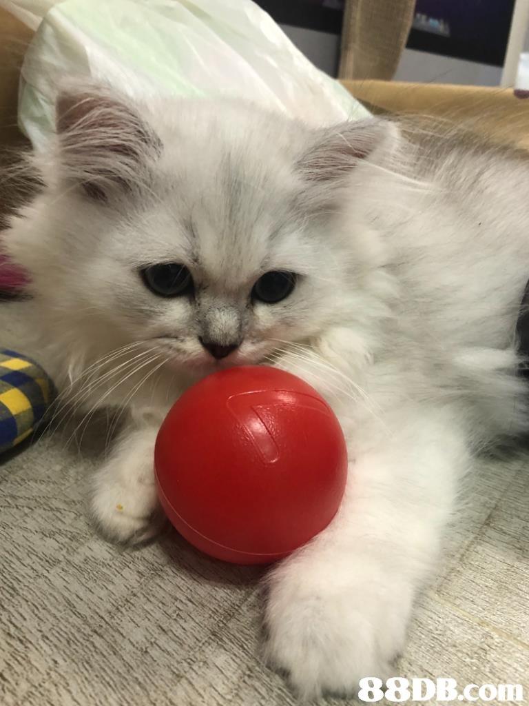 Cat,Small to medium-sized cats,Mammal,Felidae,Ragdoll