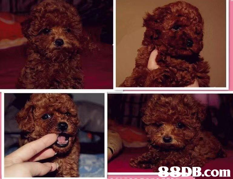 e9DB.com,Dog,Canidae,Mammal,Maltepoo,Toy Poodle