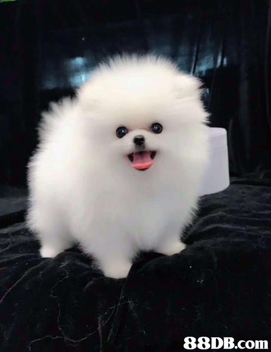 Dog,Mammal,Vertebrate,Canidae,Pomeranian