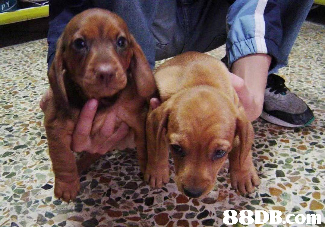 88DECO,Dog,Mammal,Vertebrate,Dog breed,Canidae