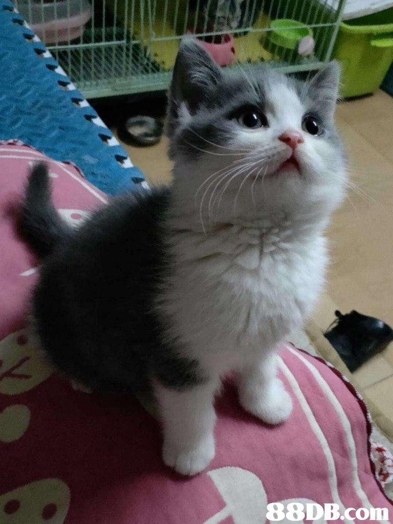 88DB.con  Cat,Mammal,Vertebrate,Small to medium-sized cats,Felidae