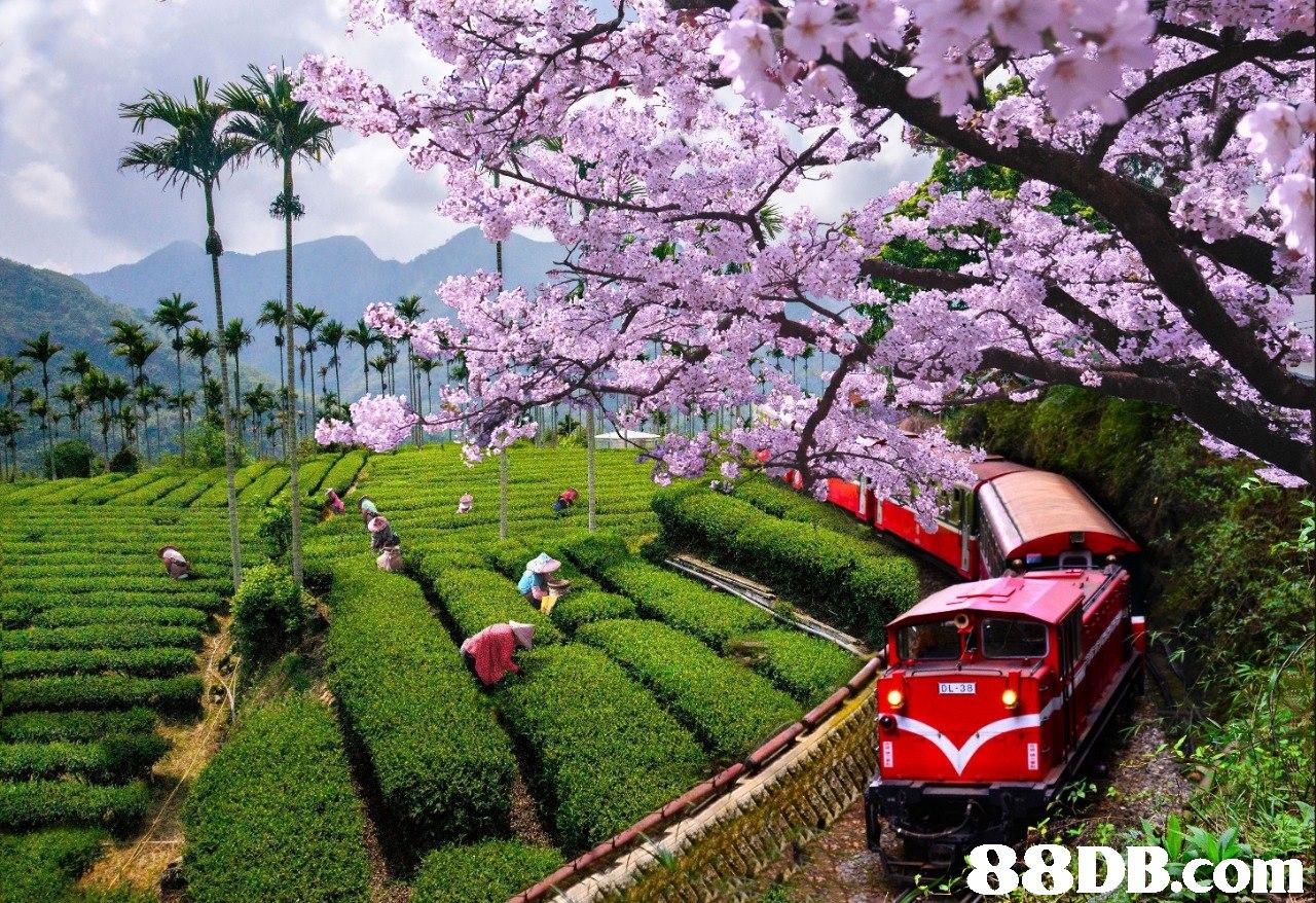 4   Flower,Cherry blossom,Spring,Plant,Blossom