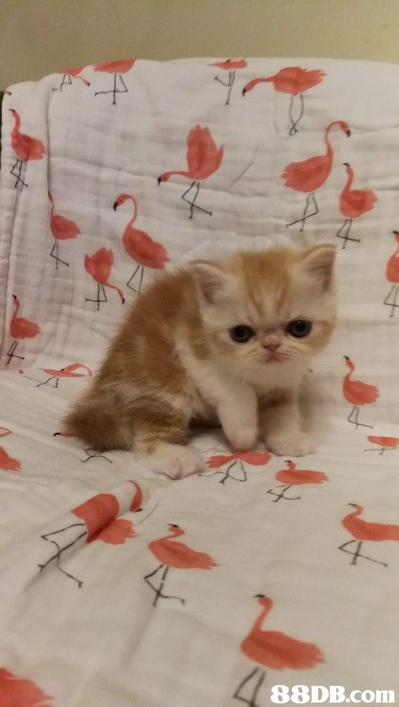 Cat,Small to medium-sized cats,Mammal,Felidae,Kitten