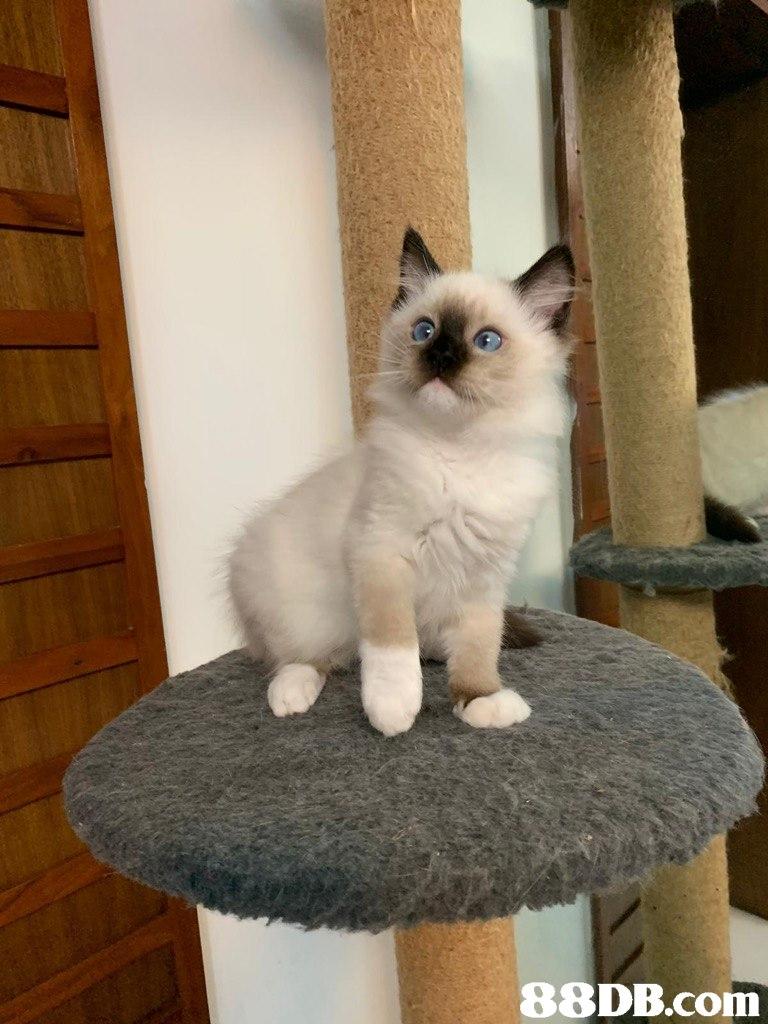Cat,Mammal,Vertebrate,Small to medium-sized cats,Birman