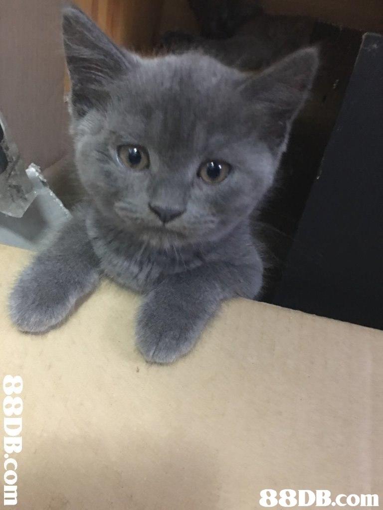 88DB.com  Cat,Vertebrate,Small to medium-sized cats,Mammal,Felidae