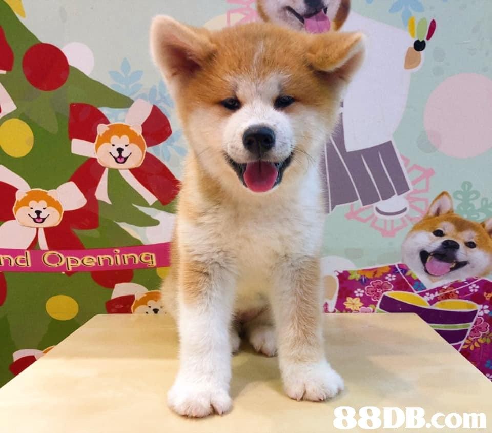 nc Opening   Dog,Mammal,Vertebrate,Canidae,Akita