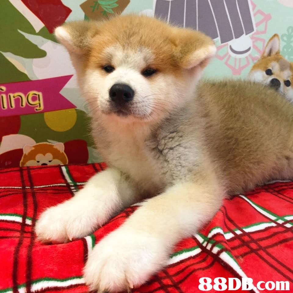 88DEcom  Dog,Mammal,Vertebrate,Canidae,Dog breed