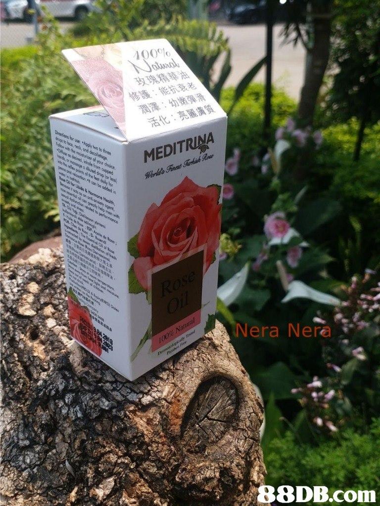 修護:能抗衰老 Nera Nere   Flower,Plant,Botany,Soil,Rose