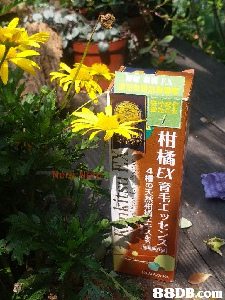 EX 迂福葶 堅守誠信 嚴控品質 柑 橘 Nera Nera 種 森毛 ッ YANAGIYA   Flower,Yellow,Plant,Daisy family,Flowering plant