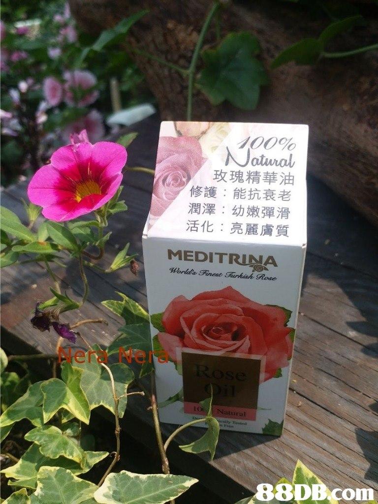 /00% 玫瑰精華油 修護:能抗衰老 潤澤:幼嫩彈滑 活化:亮麗膚質 MEDITRINA World& Finest Tarkish Rose Nera Nera Natural 88DB Com  Flower,Flowering plant,Plant,Petal,Floribunda