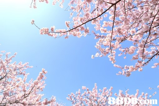 In  Blossom,Flower,Branch,Spring,Cherry blossom