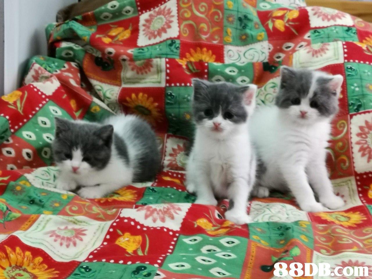 88D B.com  Cat,Mammal,Small to medium-sized cats,Felidae,Kitten