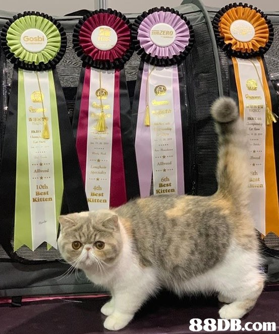 Gosbi Allbeeed Allbreed sth 6th Best Kitten I0th Best Kitten 4th sest atten   Cat,Small to medium-sized cats,Felidae,Carnivore,Whiskers