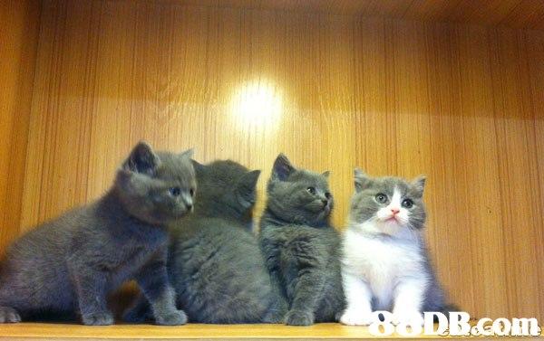 BODB.com  Cat,Mammal,Vertebrate,Small to medium-sized cats,Felidae