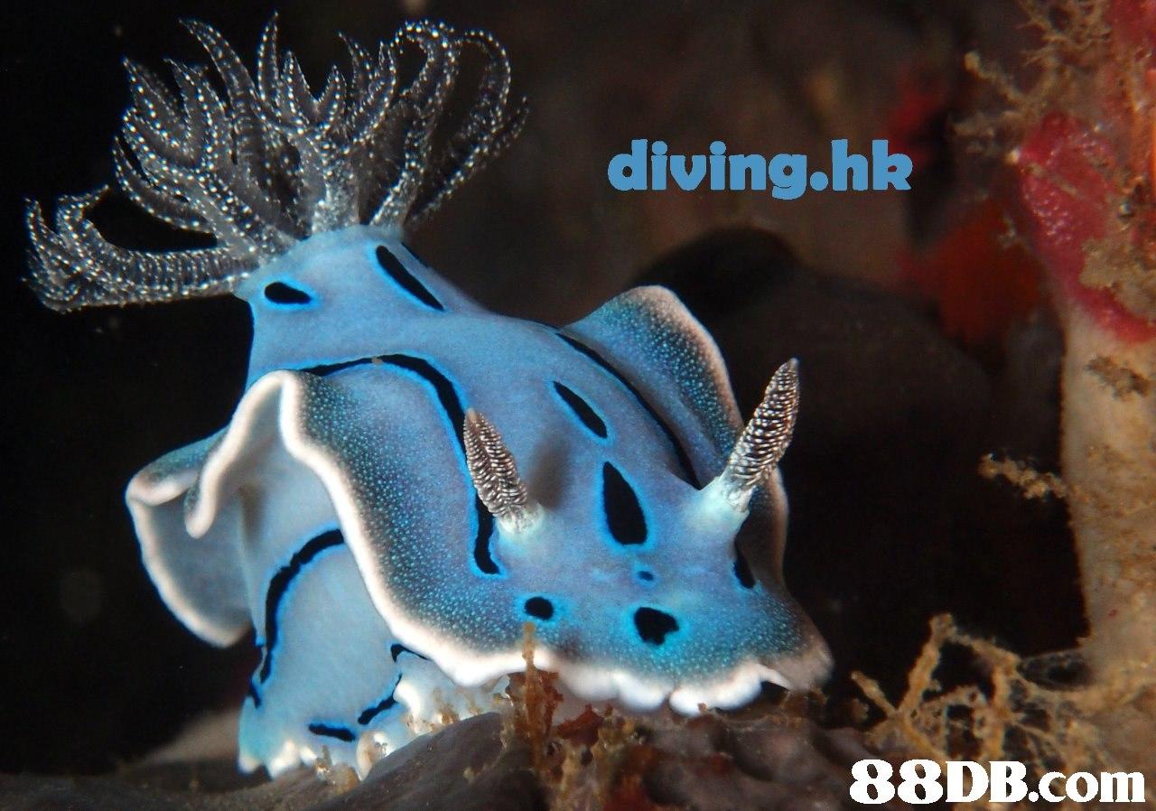 diving.hk   Marine biology,Underwater,Organism,Sea slug,Fish