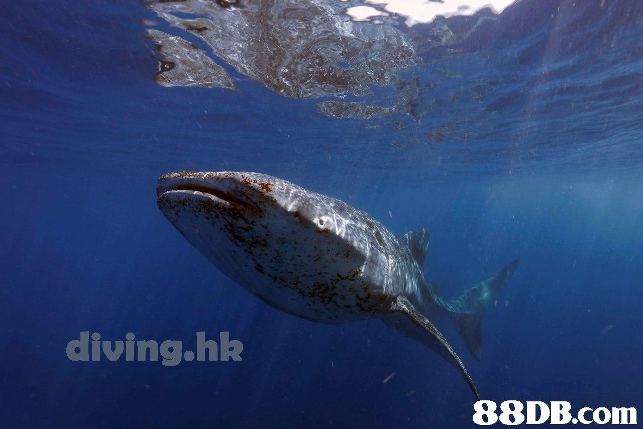 diving.hk   Whale shark,Marine biology,Fish,Underwater,Shark