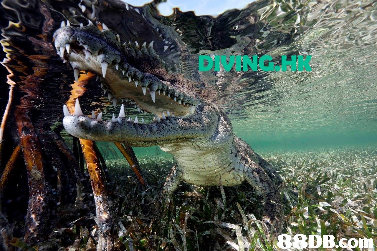 DIVING.HK  Crocodilia,Crocodile,Saltwater crocodile,Reptile,American crocodile