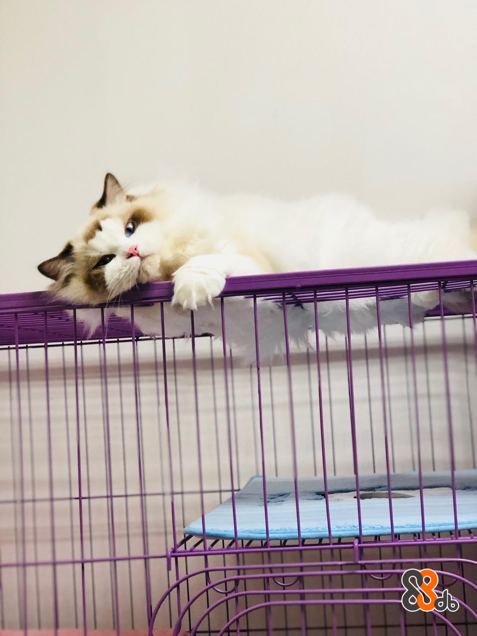 Cat,Felidae,Small to medium-sized cats,Ragdoll,Kitten