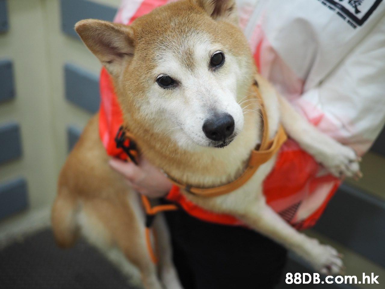 .hk,Dog,Mammal,Vertebrate,Canidae,Dog breed