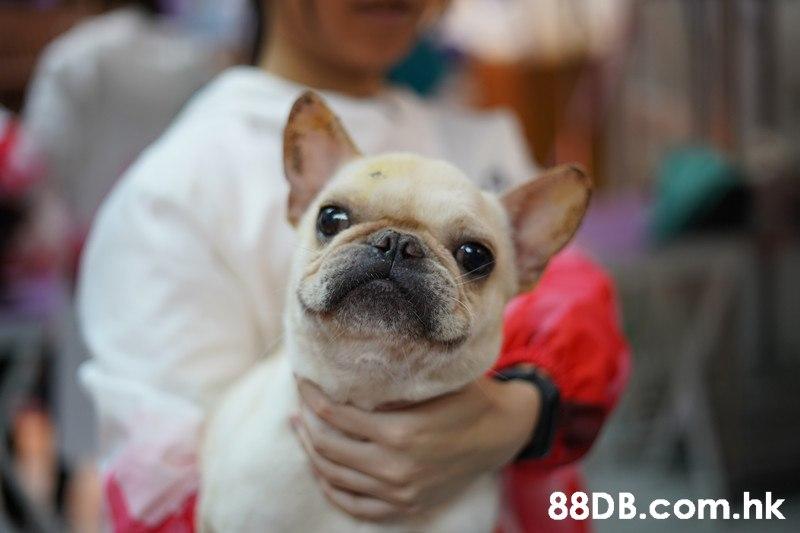 .hk  Dog,Mammal,Canidae,French bulldog,Dog breed