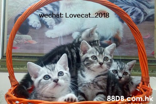 echat: Lovecat 2018 .h  Cat,Small to medium-sized cats,Felidae,Photo caption,Kitten