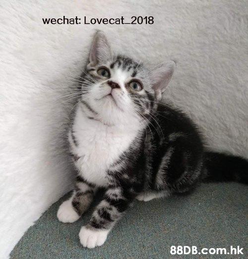 wechat: Lovecat 2018 .hk  Cat,Small to medium-sized cats,Mammal,Felidae,Carnivore