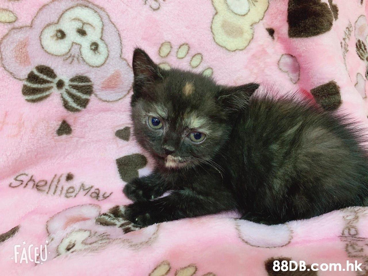 ShelheMa .hk  Cat,Small to medium-sized cats,Mammal,Felidae,Carnivore