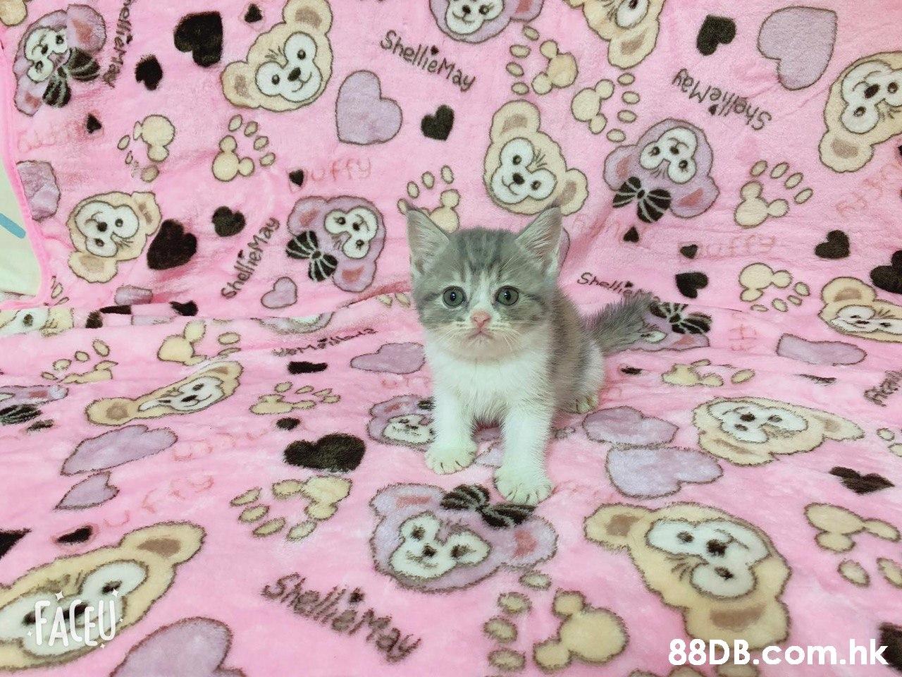 .hk  Cat,Small to medium-sized cats,Felidae,Kitten,Pink